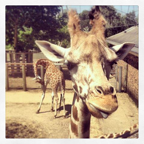Molly the giraffe