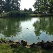 Henley Swan pond